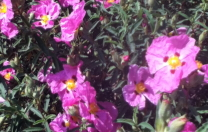 Wildflower Poppies…