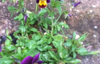 Growing Violets…