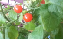 Tomatoes in December…