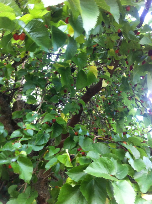 Mulberries2