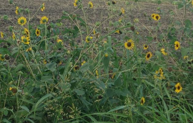 SunflowersWild2