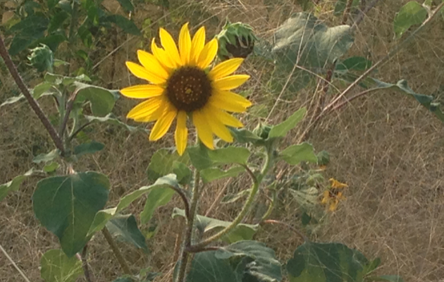 SunflowersWild3