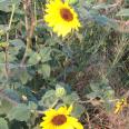 SunflowersWild6