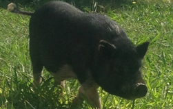 Pot-Bellied Pig 2…