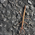 StickInsect2