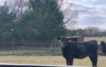 Bull Field…