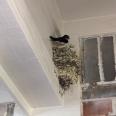 Swallows2
